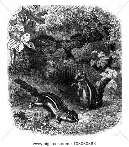Squirrel Switzerland and its burrow, vintage engraved illustration. Magasin Pittoresque 1878.