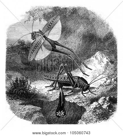 The saber Grasshopper laying eggs, vintage engraved illustration. Magasin Pittoresque 1878.