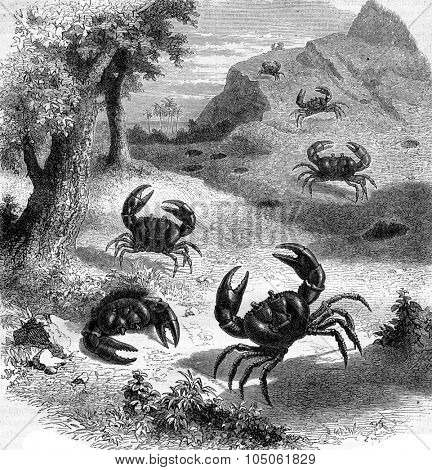 Earth purple crab Jamaica, vintage engraved illustration. Magasin Pittoresque 1877.