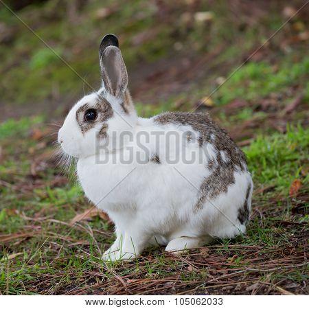 European Domestic Rabbit (Oryctolagus cuniculus)