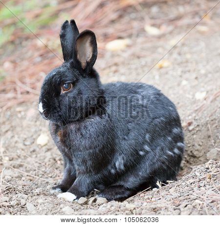 Melanistic European Domestic Rabbit (Oryctolagus cuniculus)