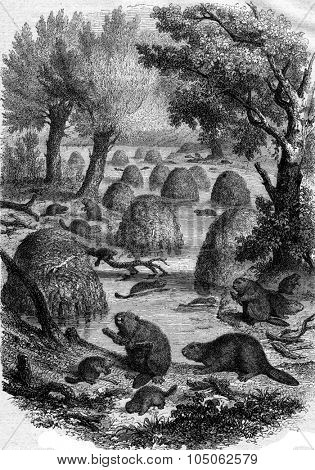 Village of beavers, vintage engraved illustration. Magasin Pittoresque 1867.