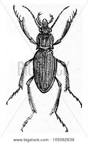 Carabus auratus, vintage engraved illustration.