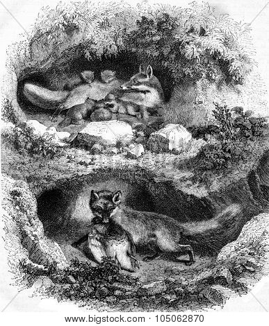 The Fox Burrow, vintage engraved illustration. Magasin Pittoresque 1867.
