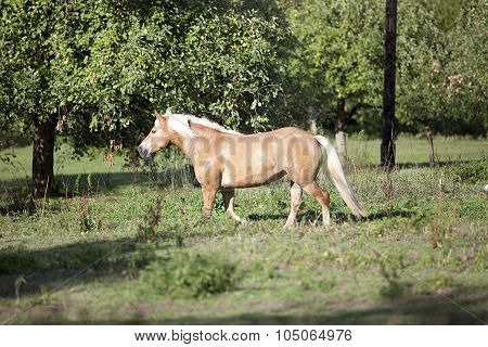 Haflinger horse waiting outside portrait