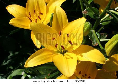 Yellow Lily Flower.