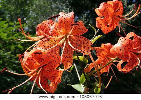 Tiger lilies in  garden.