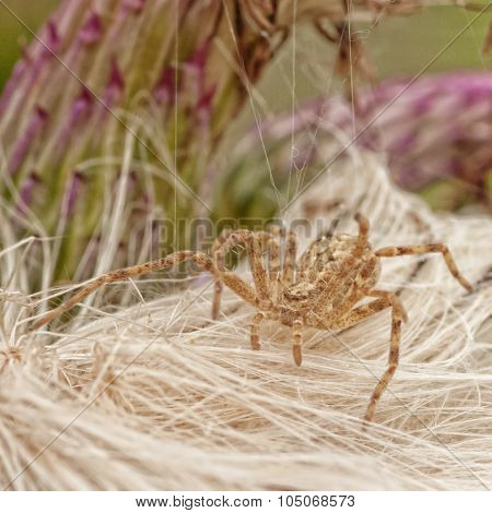Running Crab Spider