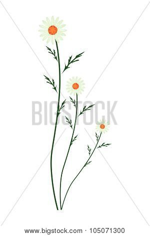 Green Daisy Blossoms On A White Background