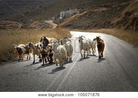 Goats herd in the middle of the road in Naxos, Greece