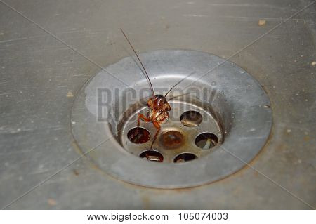 cockroach struck in sink hole