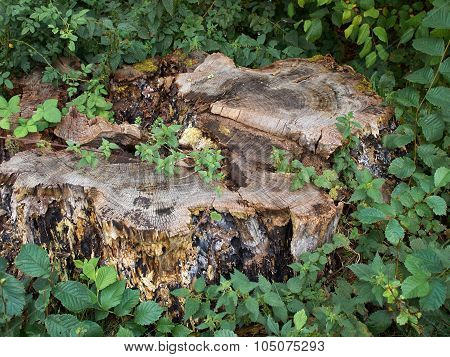Old Tree Stump In A Forest
