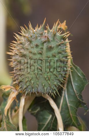Flowers And Fruits Of Wild Intoxication,datura