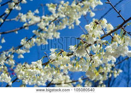 The Taiwan Endemic Flower - Prunus Campanulata Maxim