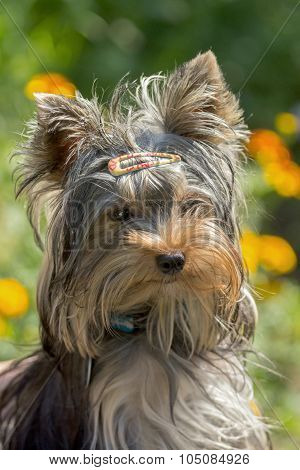 Portrait Of Cute Yorkshire Terrier