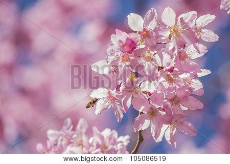 Pink Sakura Flowers (cherry) Blossom In Taiwan