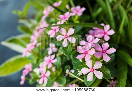Balsam Blossom