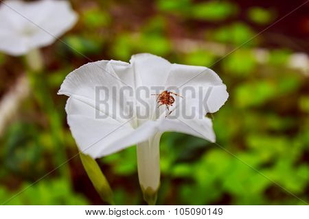 Spider Sits In  Morning Glory