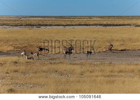 Group Gemsbok Or Gemsbuck Oryx And Impala