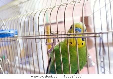 Green Budgerigar (domestic Budgie) in Cage