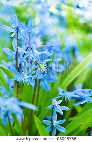 Spring bluebell flowers growing in forest