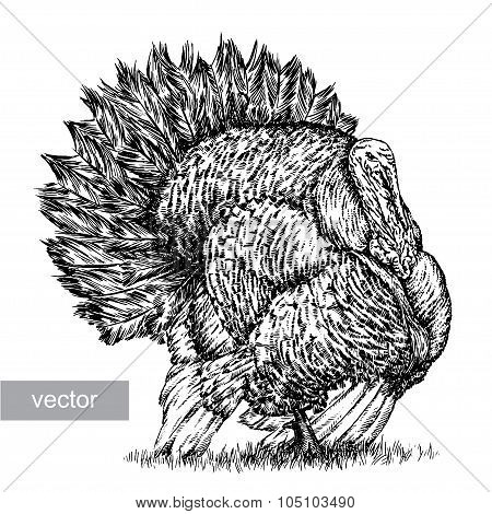 engrave turkey illustration
