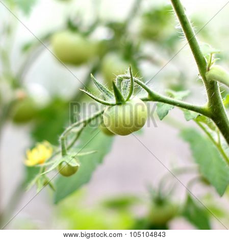 Close-up Photo Of Unripe Green Tomatoes