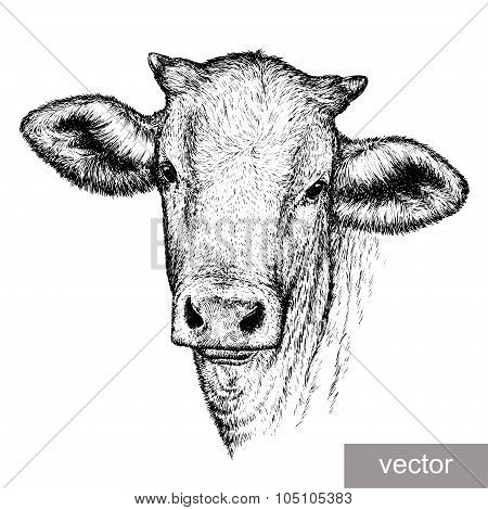 engrave cow illustration