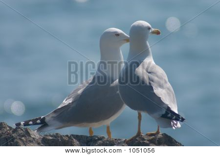 Married Couple Of Sea Gulls
