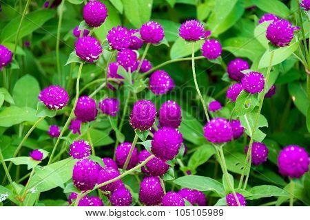 Beautiful Close up purple amaranth flower  nature