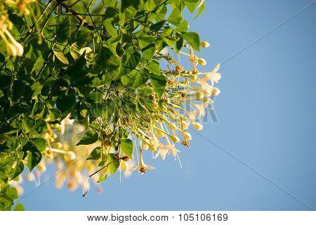 Cork Tree , Indian Cork on blue sky