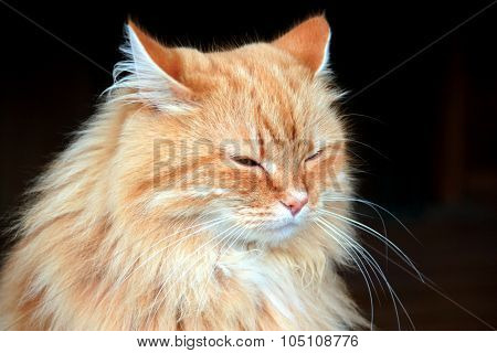 Portrait Of A Beautiful Fluffy Ginger Cat On A Black Background.