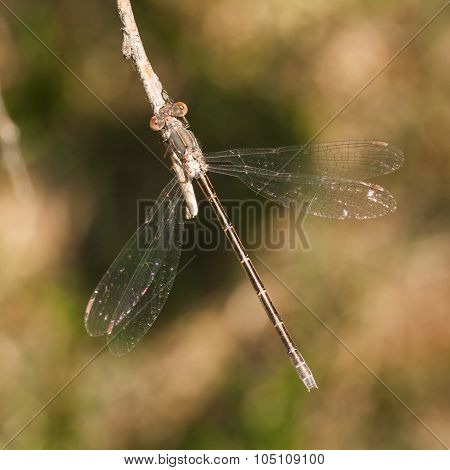 Brown Damselfly  On Twig