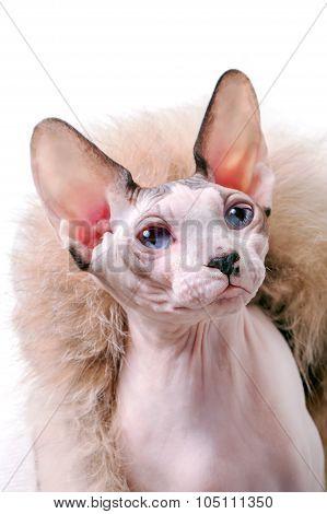 Canadian Sphynx cat portrait with luxurious fur around