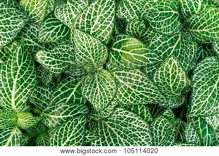 Fittonia plants.