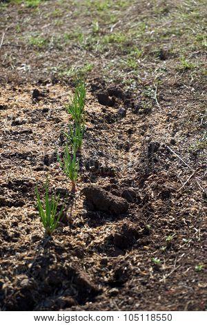 Shallots Planting