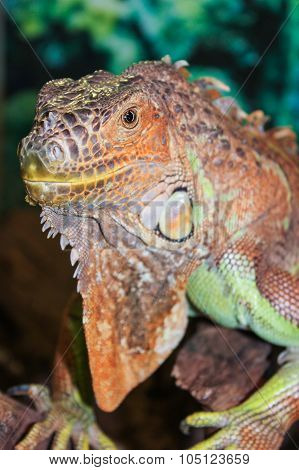 tropical reptile iguana