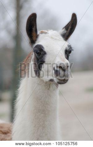 Llama portrait in zoo park