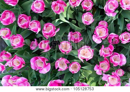 Flower Bed With Pink Tulips