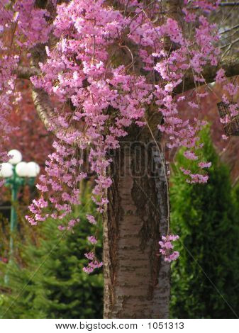 Pink Blossoms Of The Weeping Cherry Tree