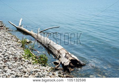 Large Driftwood Log At Shallow Rocky Shore