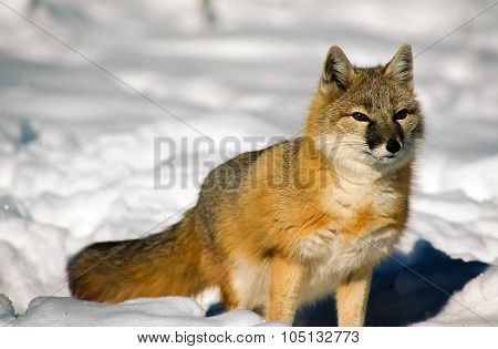 One Swift Fox hunting in the snow