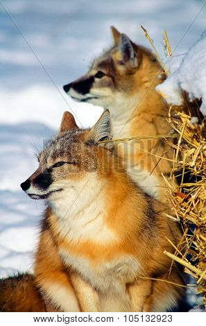 Tight shot two Swift Fox in the snow.