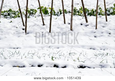 Leeks And  Cabbage In The Snow