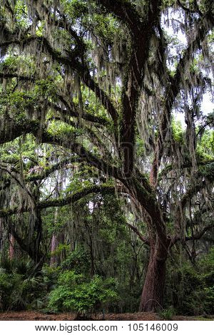 Savanna Georgia Live Oak Tree