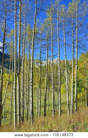 Colorful Aspen During Foliage Season