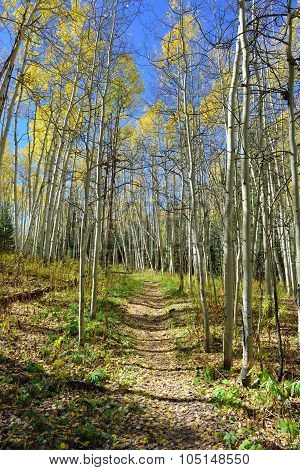 Forest With Colorful Aspen During Foliage Season