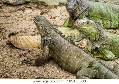 Three Giant Green Iguana Close Up