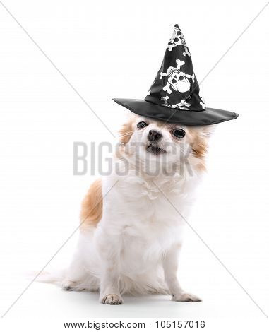 angry chihuahua dog  dressed in evil wizard black hat on white background