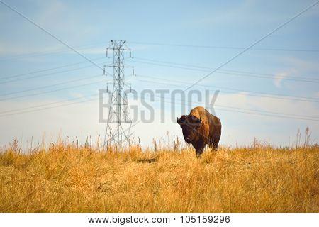 American Bison Buiffalo On An Urban Wildlife Preserve